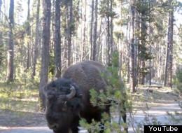 WATCH: Be Very, Very Quiet Around A Bison