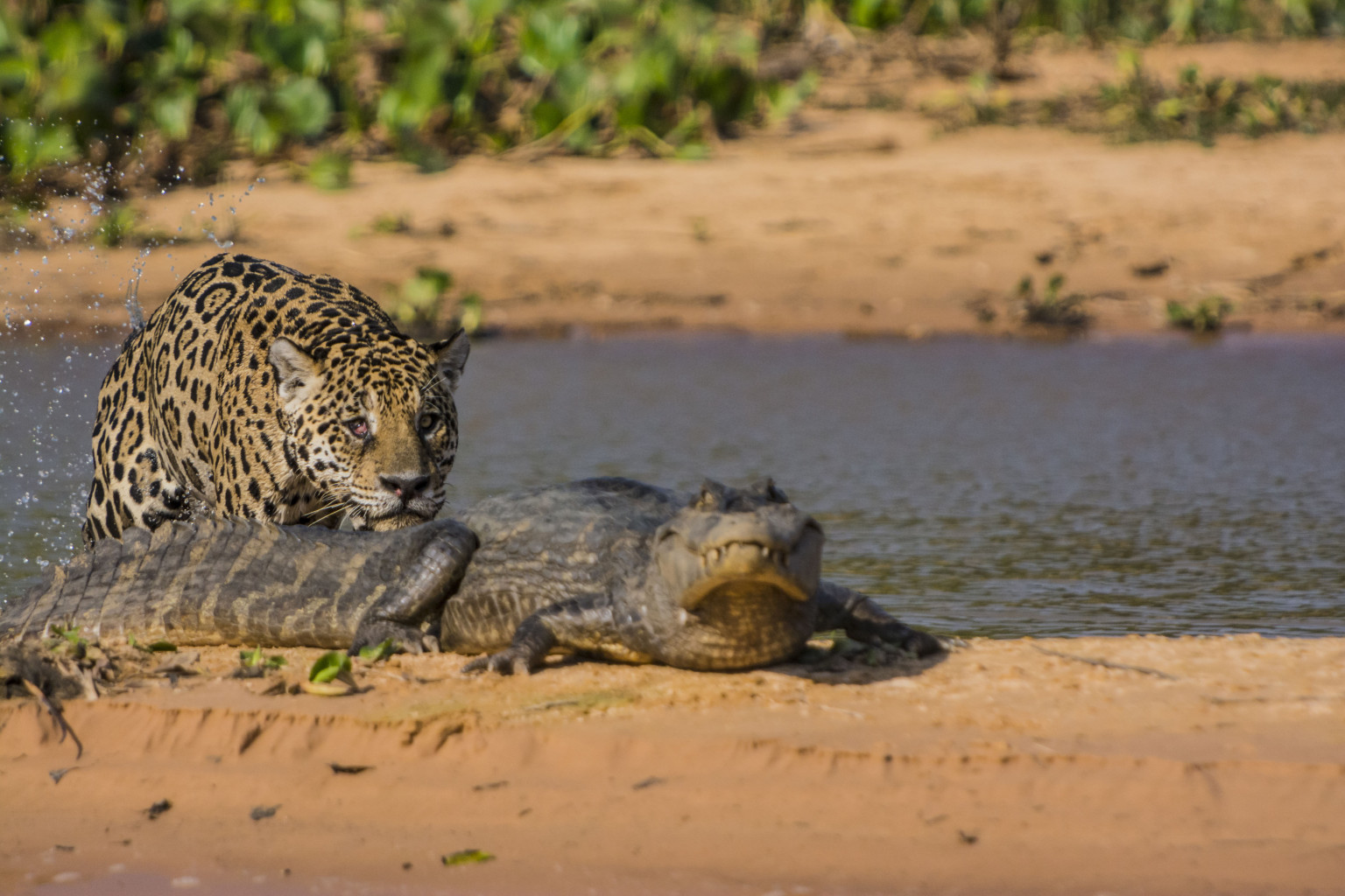 PHOTOS: Jaguar Meets Caiman In Predatory Fight