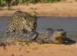 Jaguar Attacks Caiman In Brazil's Pantanal Wetlands (PHOTOS)