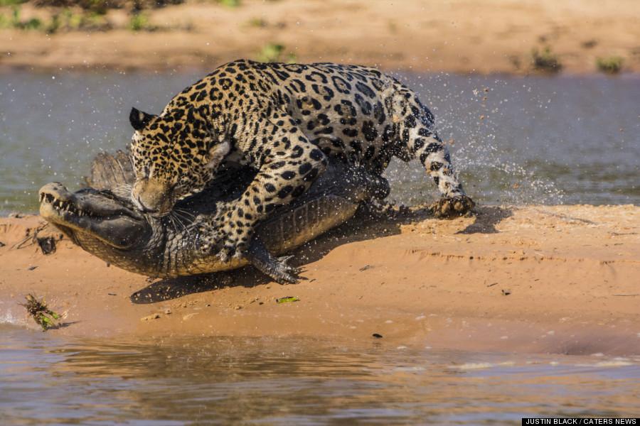 Cougar hunting in florida 6