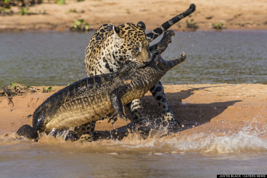 cayman jaguar