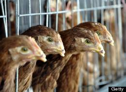 For the USDA, Chicken Is Just Politics