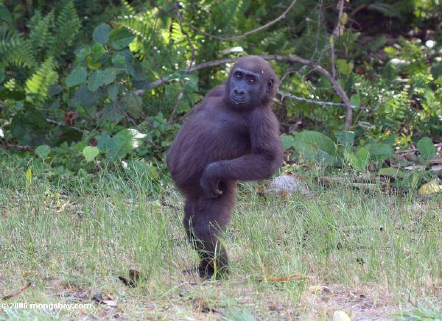 Is This The Coolest Gorilla Of All Time? (PICTURES ...