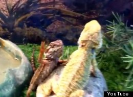 Bearded Dragons Say What's Up