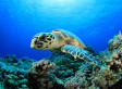Chinese Restaurateur Refuses To Cook Rare Hawksbill Sea Turtle, Saves It Instead