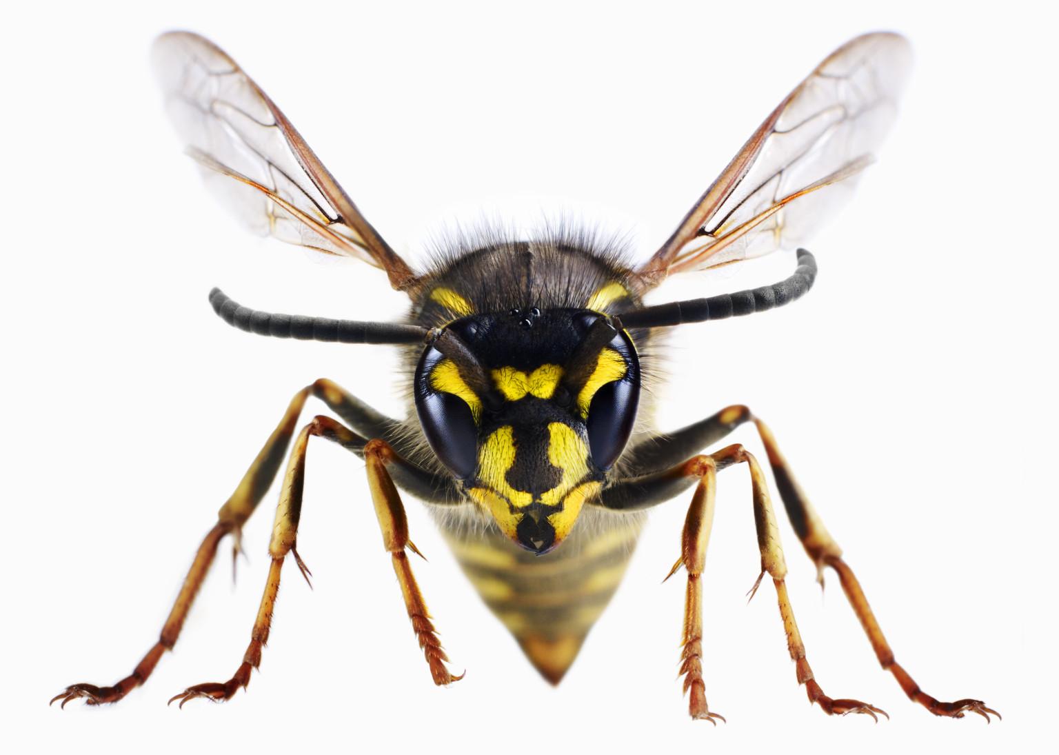 Killer bees essay