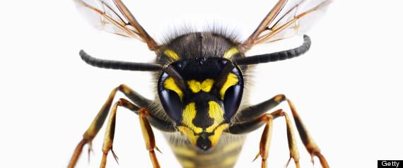 drunk wasps