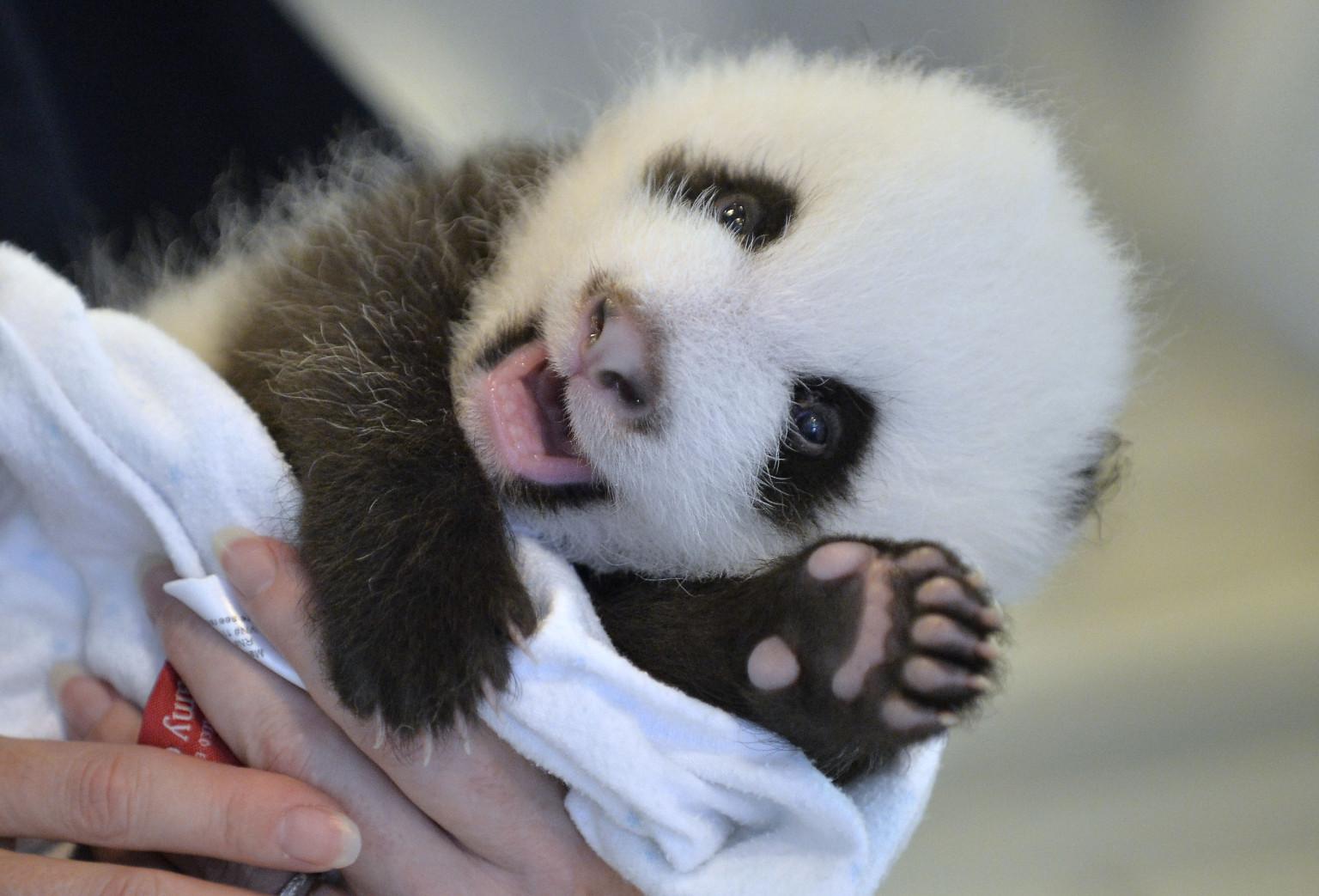 The Atlanta Zoo's Baby Panda Cub Just Wants To Say 'Hey ...