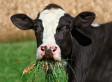 Is Cow-Tipping Really Possible? Researchers Show Why Prank Wouldn't Work (VIDEO)