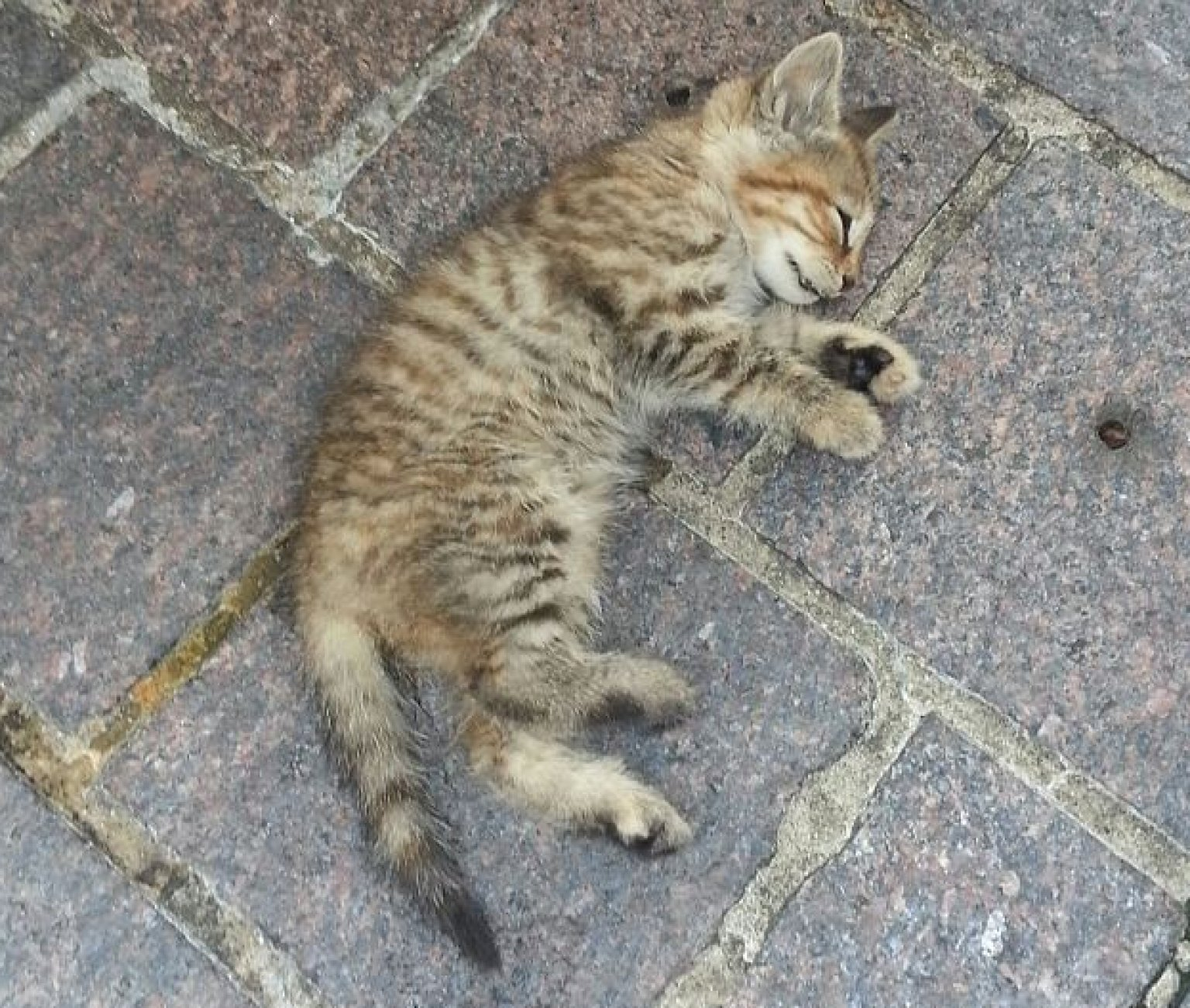 Kitten Dies After Being Thrown At Animal Rights Activists