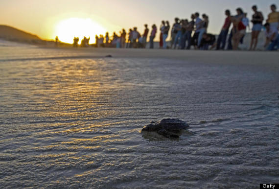 baby turtle with fans