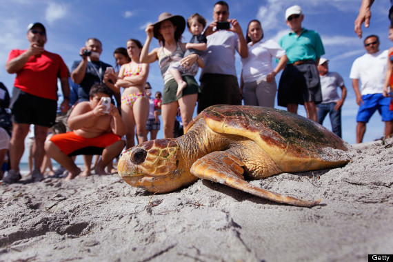 17 Photos Of Sea Turtles Ignoring Humans Huffpost