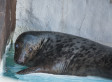 Georgie The Grey Seal Has Bad Eyesight, But She Was Rescued And Now Has A New Home (PHOTOS)