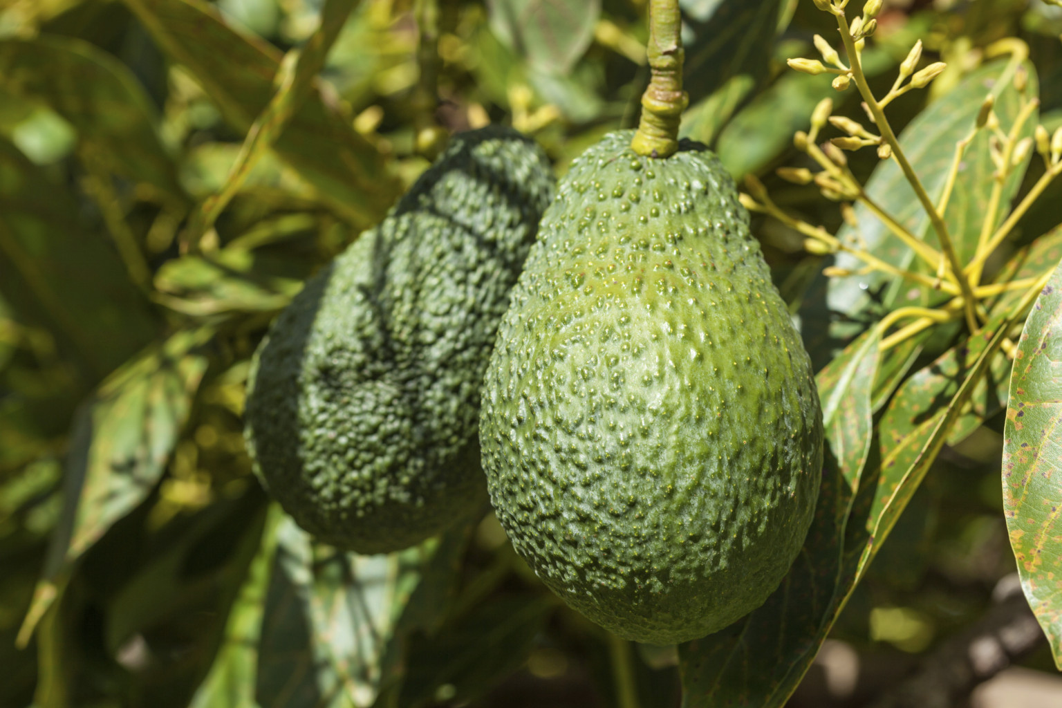 how to grow an avocado plant that bears fruit