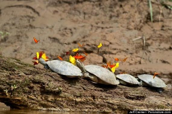 butterflies turtles
