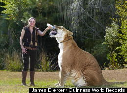 Meet The World's Largest Living Cat