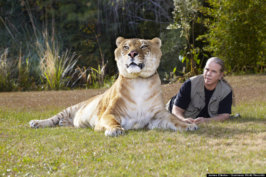 Biggest Cat In The World Guinness 2015 hercules, 922-pound liger, is the world's largest living cat