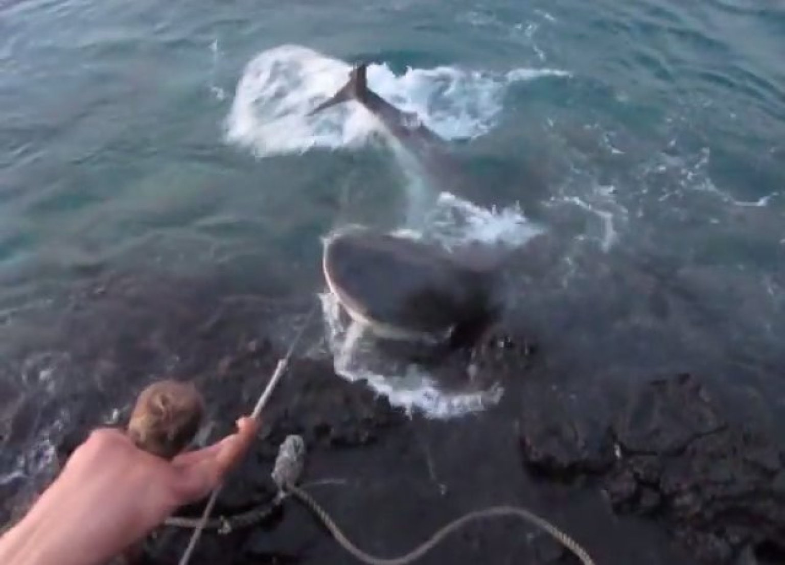 Shark Eating Man Drawing Video of Tiger Shark Torture