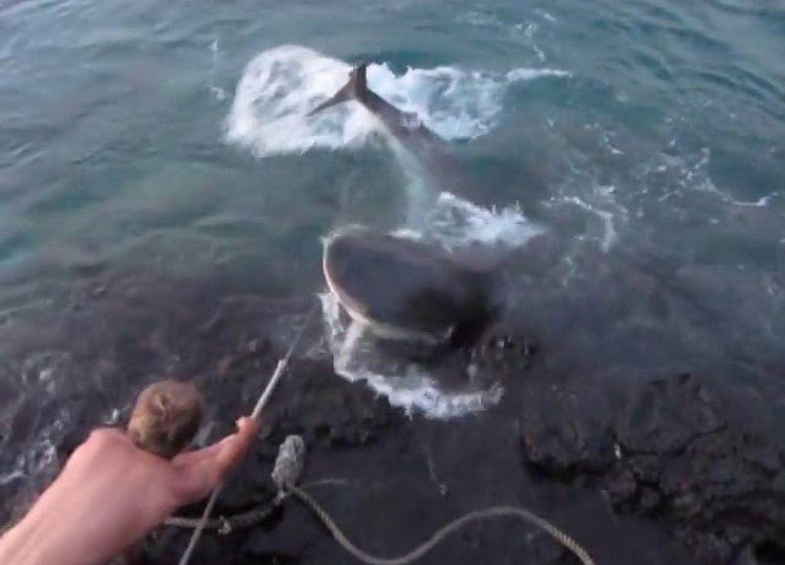 Shark Eating Man Drawing Video of Tiger Shark Torture