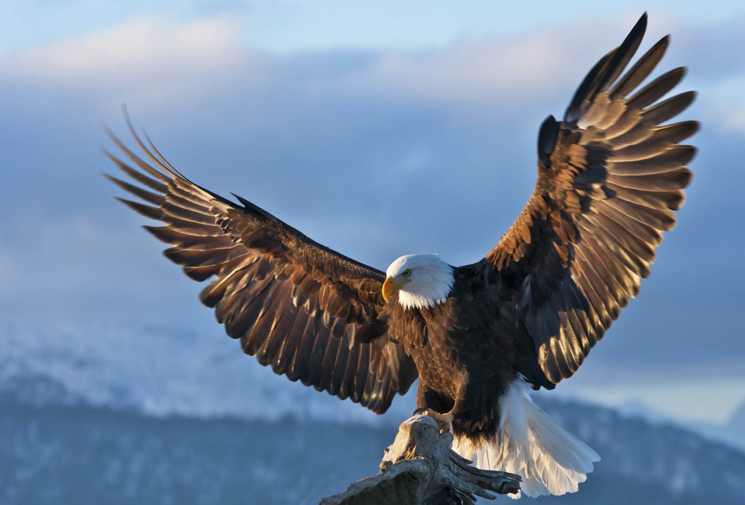 Bald Eagle Conservation Is An  Eagle