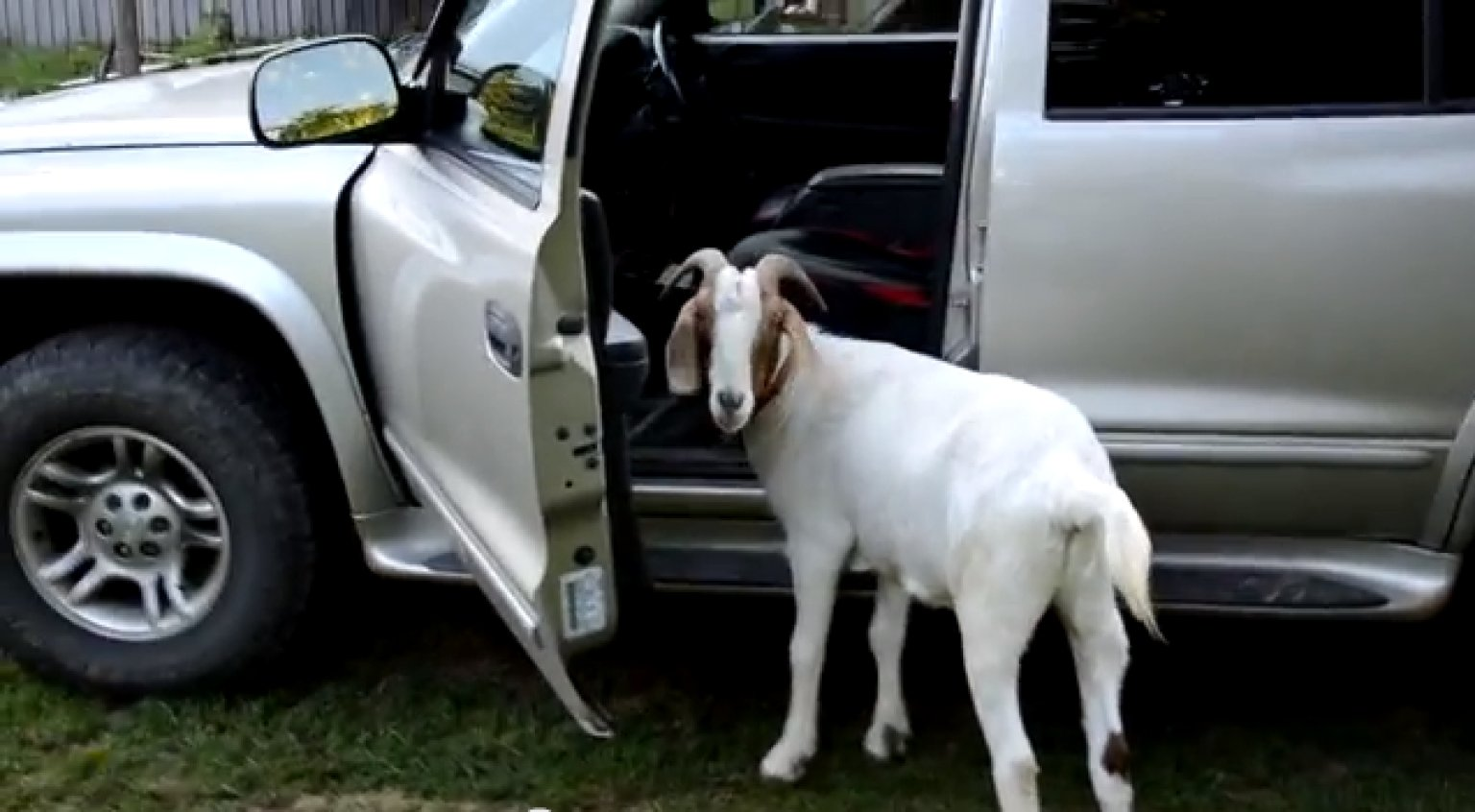 goat figures out how to open car door is probably plotting world domination video huffpost. Black Bedroom Furniture Sets. Home Design Ideas