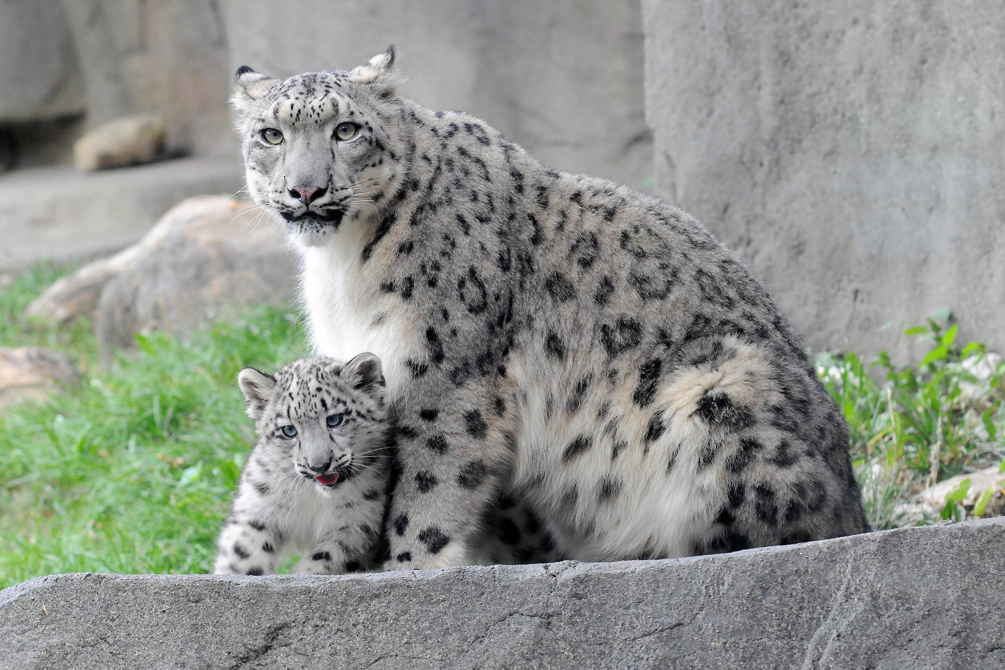 Snow leopard cub can t stop jumping on things during public debut at
