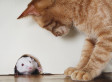 Mice Lose Fear Of Cats Permanently After Infection With Toxoplasma Gondii Parasite
