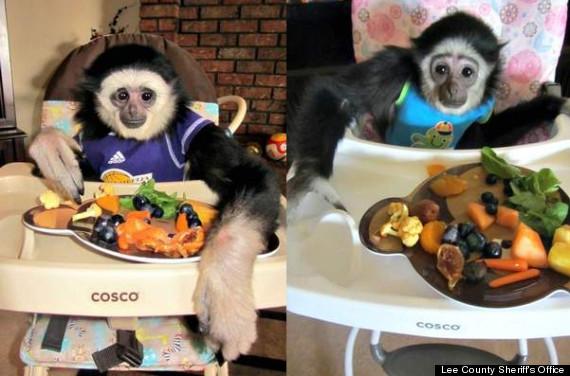 gibbon monkeys stolen