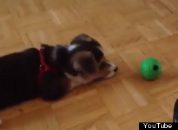Corgi Puppy Shows Who's Boss Of The Kitchen