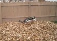 Siberian Husky Playing In A Pile Of Leaves Will Make You SO Excited For Fall