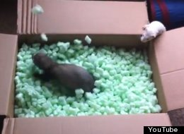 Blissed Out Ferrets In Packing Peanuts. And That Is All