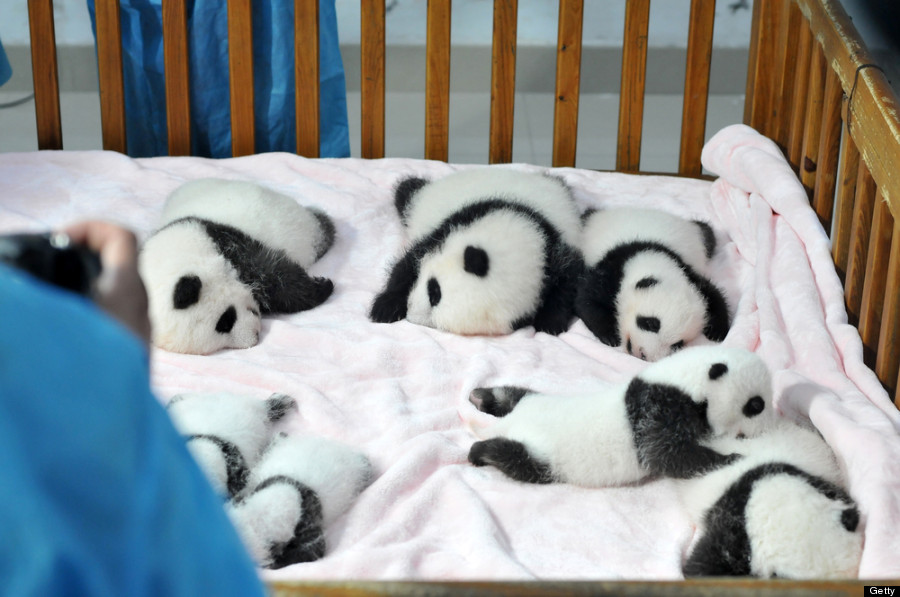 Baby pandas at China's Chengdu Research Base for Giant Panda Breeding