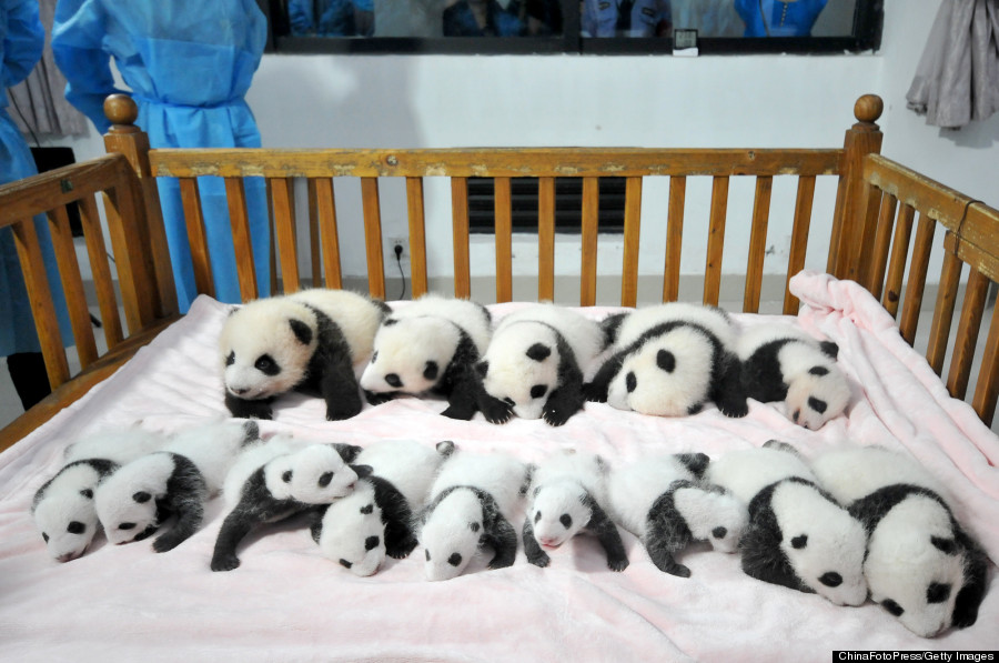 These 14 Panda Cubs Will Remind You Why The Iconic Bears
