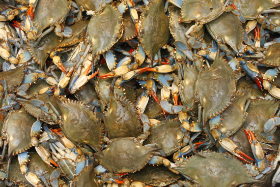 blue crabs maryland