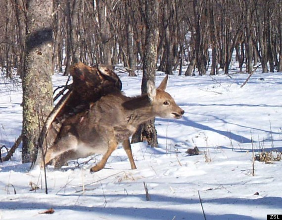Eagle attacking deer in russia caught on camera huffpost for Fish bones va beach