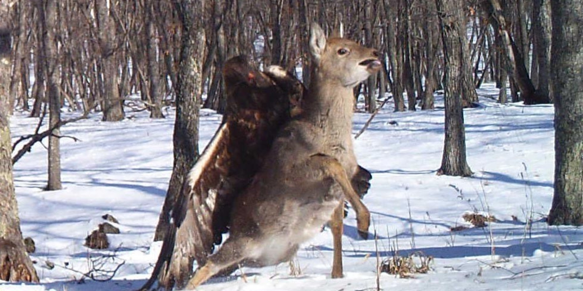 Eagle Attacking Deer In Russia Caught On Camera