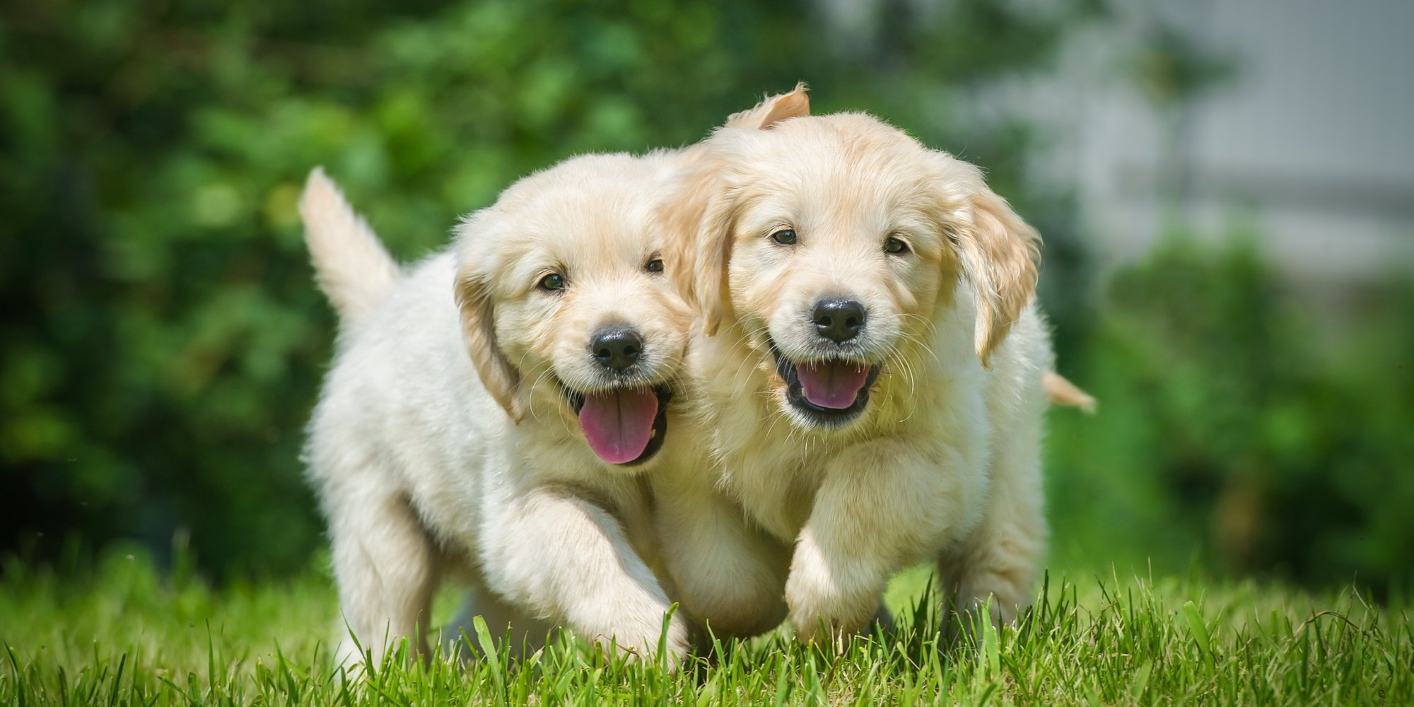 puppies animals animal happy smiling dogs golden retriever happiest earth puppy pet together pup running backgrounds happiness vet pups wallpapers