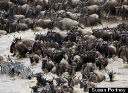 A Crossing In Kenya: A Thrilling Spectacle of the Great Migration