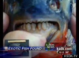 Large 'Testicle-Eating Fish' Found In NJ!