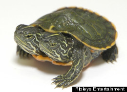 What's In A Name? A Two-Headed Turtle At Ripley's Odditorium Needs One