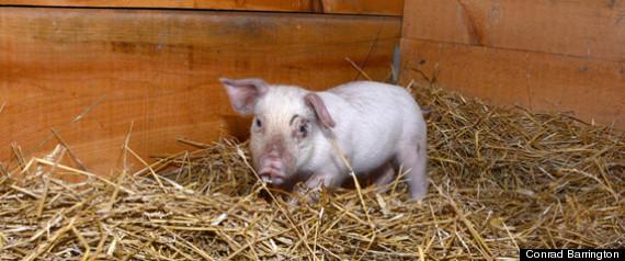 rescued piglet