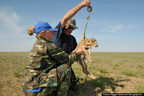 saiga antelope looks like a star wars creature and is