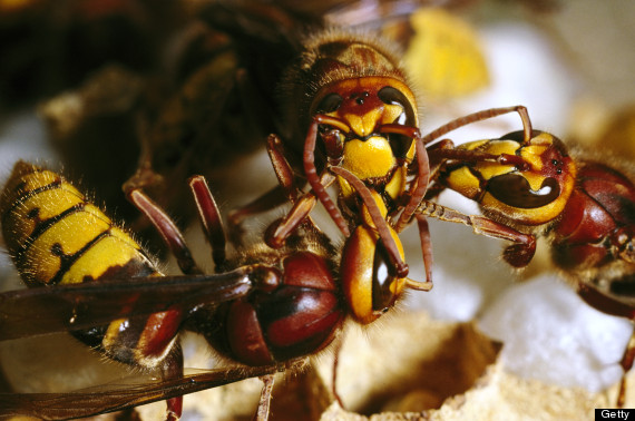 Killer Hornets Terrorize China | Asian Giant Hornet