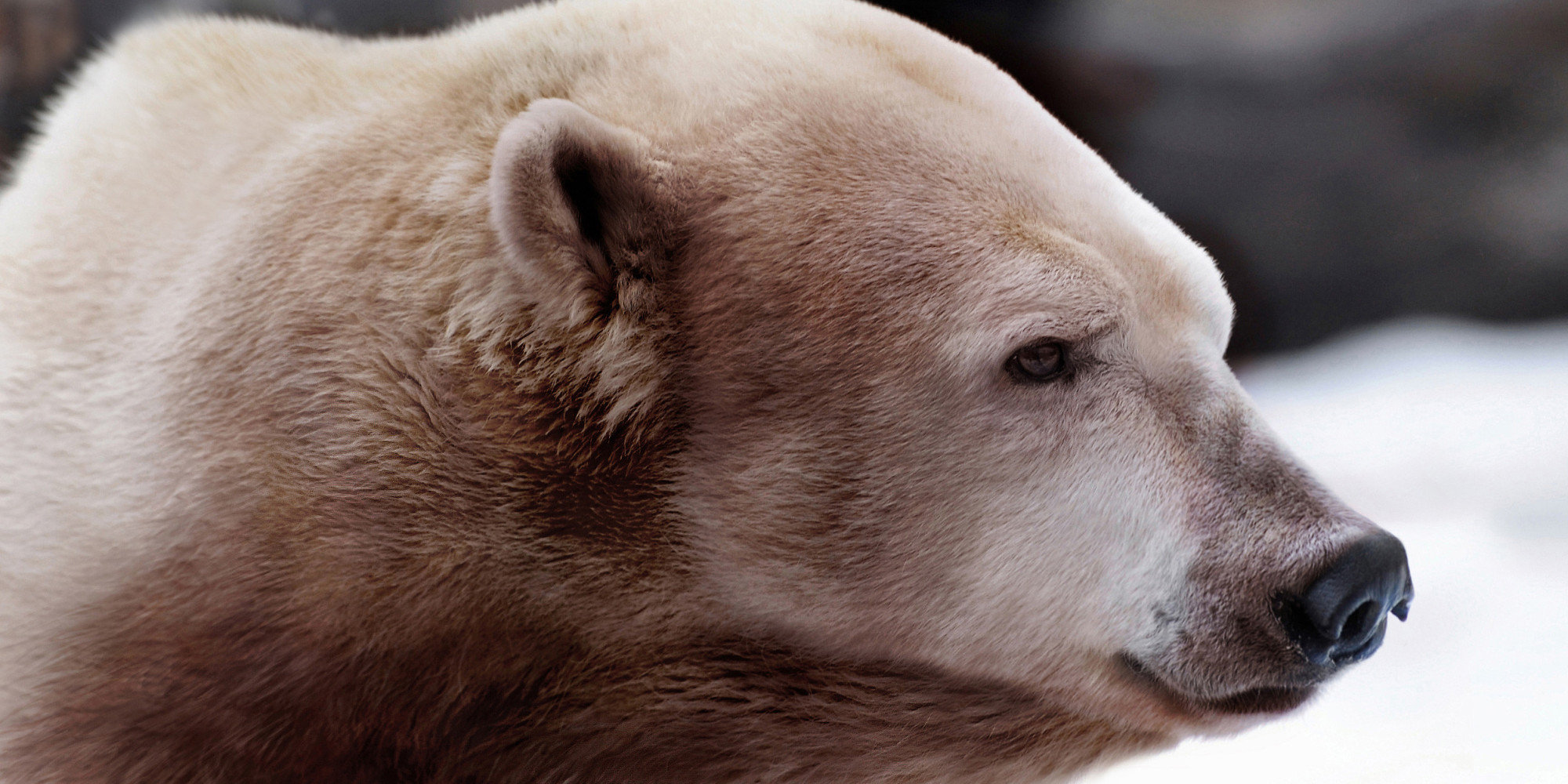 Grolar bear - photo#15