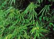 Canada's Medical Marijuana System Overhaul Starts Tuesday
