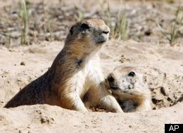 Prairie Dog Outlook