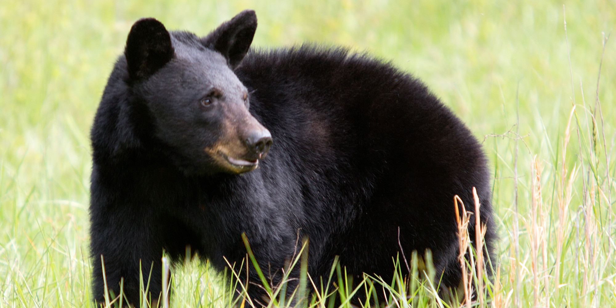 Black bear head profile - photo#7