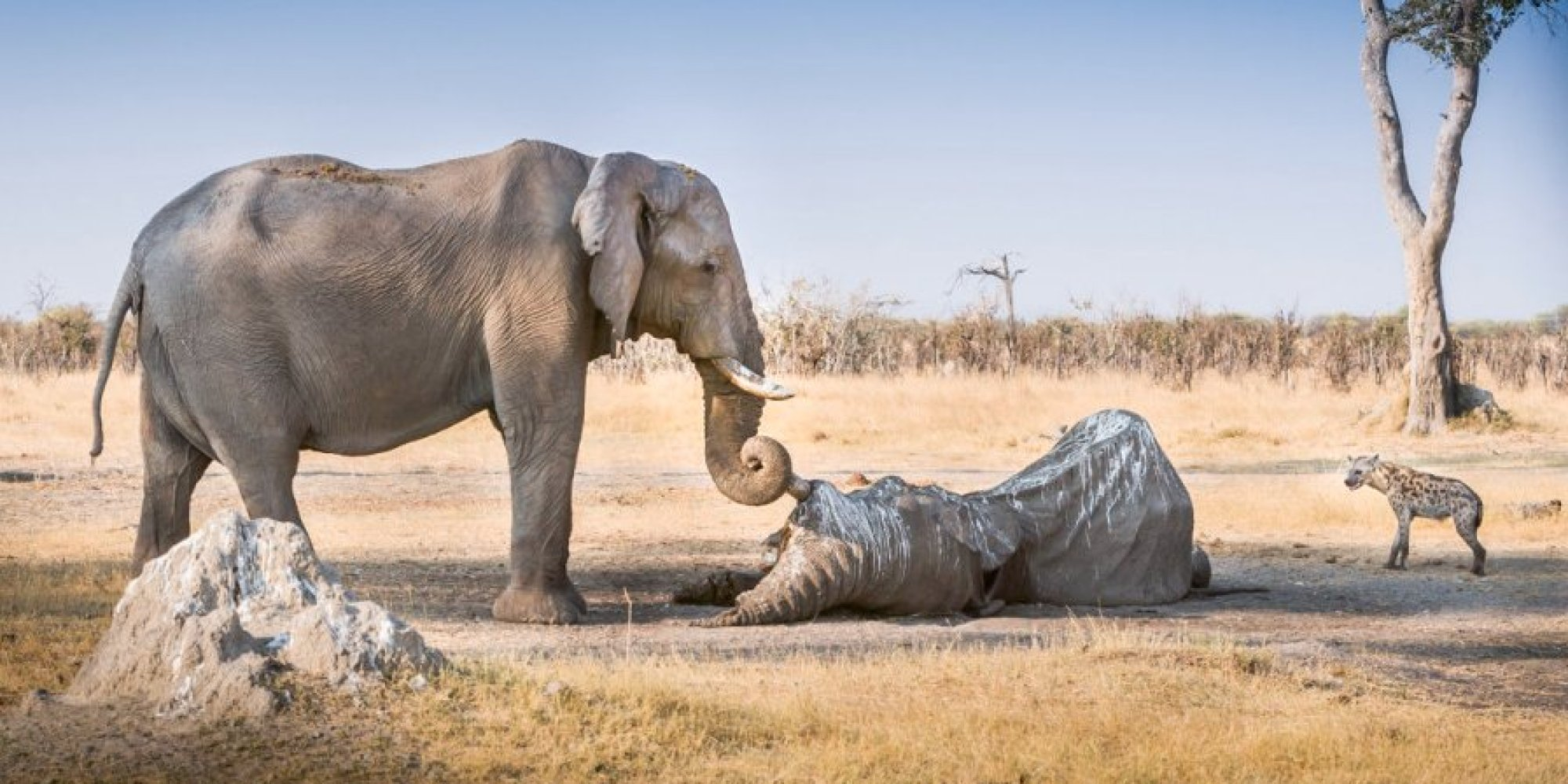 Elephant clings to tusk of dead friend in botswana picture huffpost uk - Image elephant ...