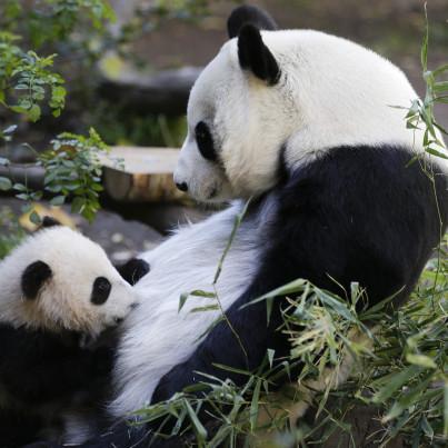 san diego panda 2013