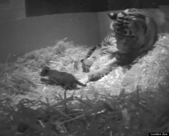 tiger cub baby